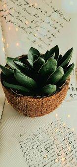 Echeveria, Meaty, Plant, Sukulent, Coconut, Flowerpot
