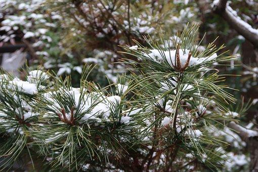 Seasonal, Winter, Snow, Pine, The Loving Look, Plant