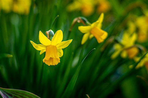 Osterglocken, Spring, Daffodils, Easter, Nature, Yellow