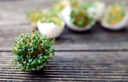 Cress, Sprouts, Eggshells, Culinary Herbs, Garden Cress