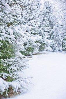 Winter, Snow, Trees, Conifers, Coniferous