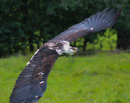 Eagle, White, Tail, Raptor, Nature, Bill, Plumage