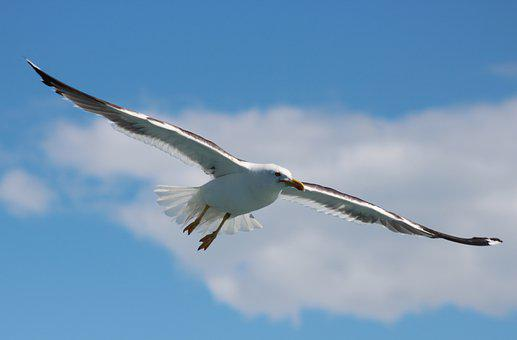 Seagull, Flight, Bird, Freedom, Sky, Flying, Wings, Sea