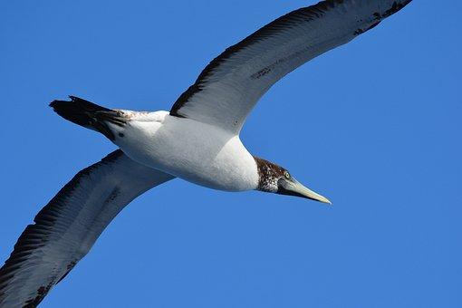 Sea bird, Young Gannet, Atlantic