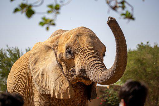 Elephant, African, Animal, Nature, Africa, Wildlife