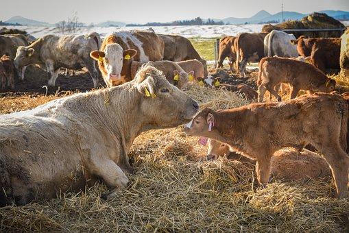 Cows, Calf, Pasture, Scot, Farm, Animals, Agriculture