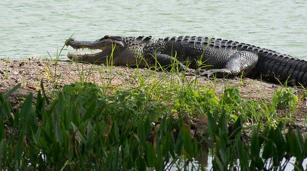 Alligator, Alligator-land, Animal