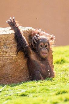 Orangutan, Monkey, Primate, Ape, Baby, Zoo, Cute