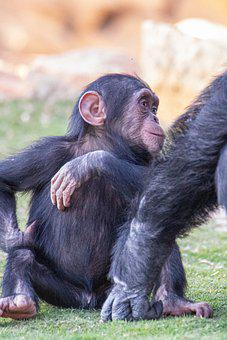 Monkey, Chimpanzee, Primate, Baby, Ape, Family, Animal