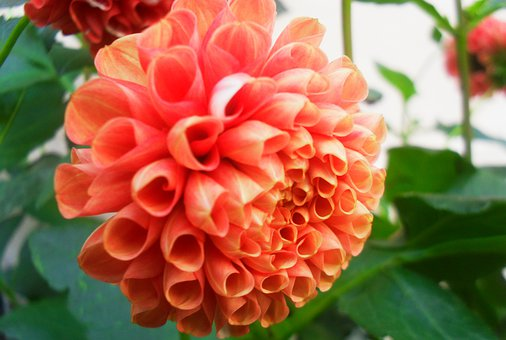 Dalia, Flower, Flora, Nature, Beauty, Pink, Dahlias