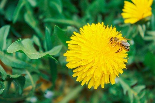 Biene, Biume, Löwenzahn, Frühling, Wiese, Gelbe Blume