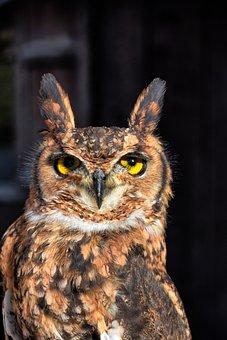 Bird, Bird Of Prey, Eurasian Eagle Owl, Animal