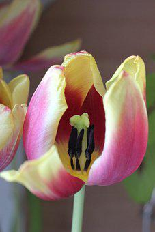 Tulip, Stamens, Pistils, Petals, Flower, Bloom, Blossom