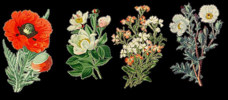 Vintage, Flowers, Drug Poppy, Peony, Chinese-peony