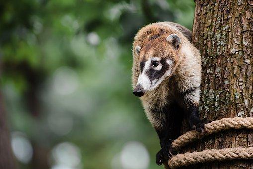 Coati, Nasua, Animal, Nature, Mammal, Tree, Climbing