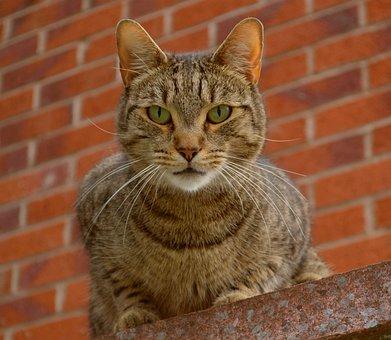 Cat, Feline, Mammal, Animal, Pet, Domestic, Tabby