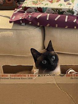 Siamese, Cat, Pet, Box, Adorable, Feline, Fur, Face