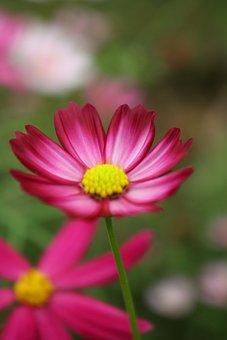 Chrysanthemum, Spring, Flowers And Grass