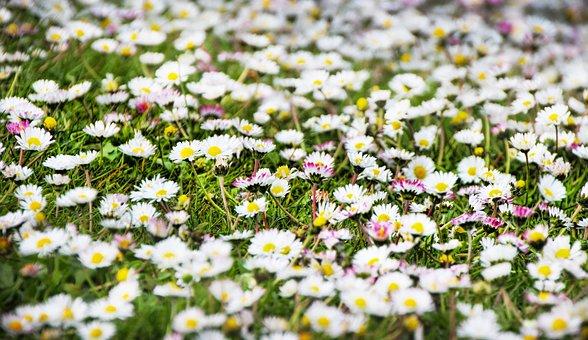 Daisies, Flowers, Meadow, Field, White Flowers