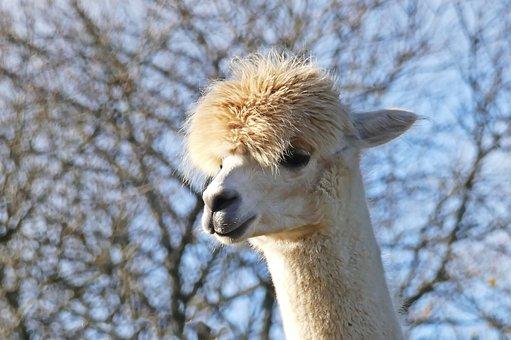 Alpaca, Peru, Wool, Livestock, Head, Fluffy, Mammal