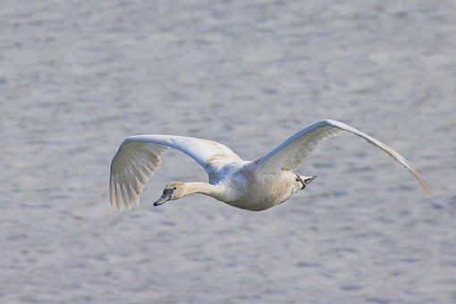 Swan, Flying, Lake, Young Swan, Bird, Waterfowl