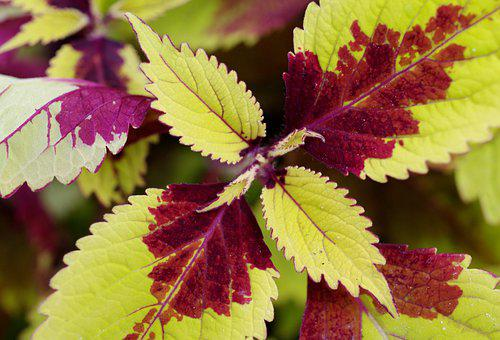 Plant, Leaves, Foliage, Bicolored, Horticulture, Botany