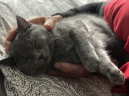 British, Cat, Pets, Sweet, Cute, Hangover, Animal, Pet