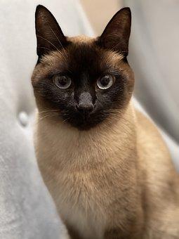 Siamese, Cat, Kitten, Pet, Animal, Eyes, Kitty, Fur