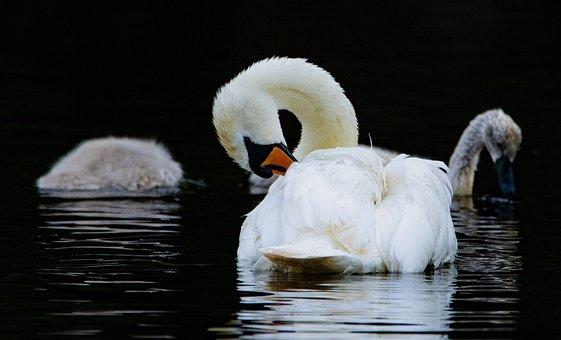 Swan, Lake, Family, Boy, Nature, Waters, Swim, Swans