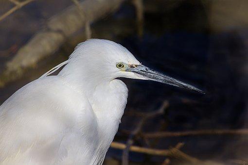 Little Egret, Bird, Animal, Heron, Water Bird, Wildlife