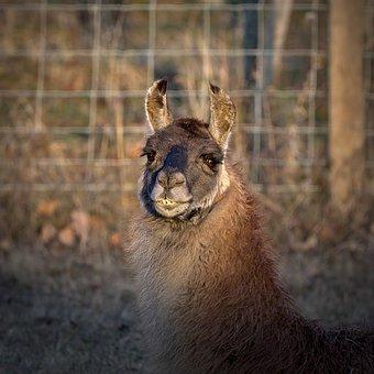 Lama, Face, Animal, Head, Mammal, Portrait, Ears, Funny
