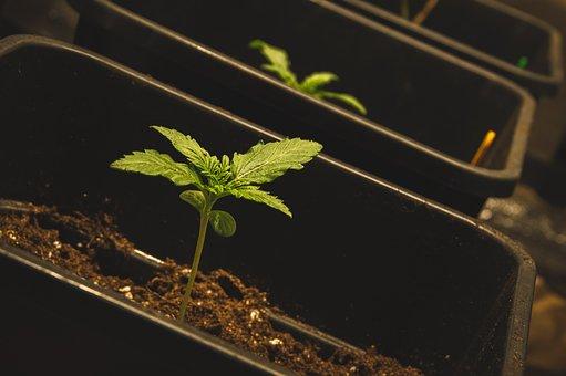 Weed, Cannabis, Marijuana, Hemp, Drug, Plant, Leaf
