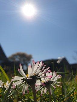 Flower, Daisy, Spring, Nature, Garden, Plant