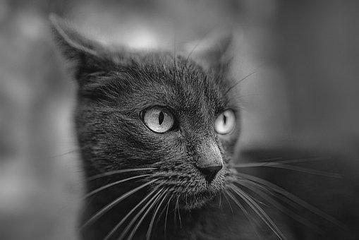 Cat, Russian Blue, Pet, Portrait, Kitten, Pets, Animal