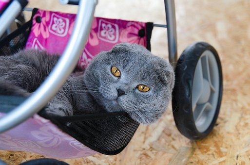 Cat, Feline, Whiskers, Russian Blue, Kitty, Animal