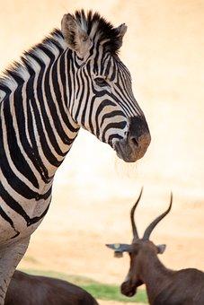 Zebra, Stripes, Mammal, Wildlife, Africa, Safari
