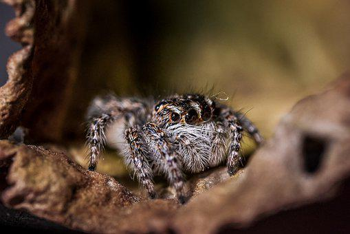 Spider, Jumping Spider, Arachnid, Arachnophobia