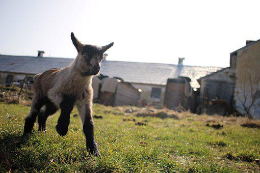 Goat, Goats, Spring Animal, Nature, Cute, Happy, Easter