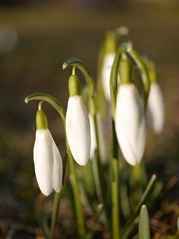 Snowdrop, Early Bloomer, Spring Awakening