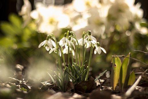 Spring, Snowdrop, Spring Awakening, Signs Of Spring
