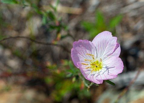 Pink Flower, Shadow, Stamen, Pollen, Nature, Bloom