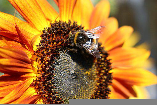 Bee, Bumblebee, Insect, Flowers, Sun, Sunflower