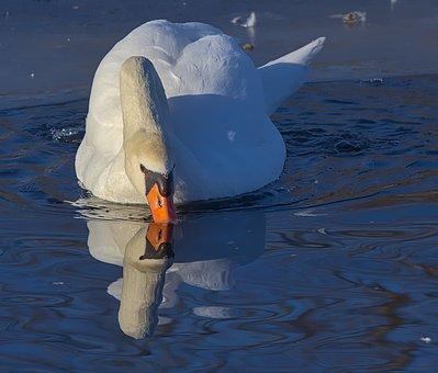 Swan, Drink, Water, Bird, Nature, Animal, Water Bird