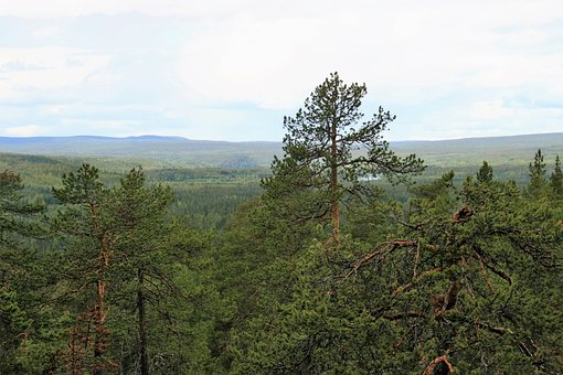 Trees, Conifers, Wilderness, Forest, Lapland, Taiga
