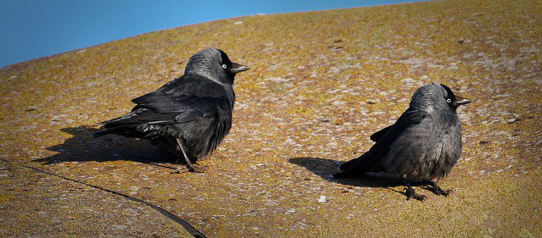 Jackdaw, Kajor, Bird, Black, Birds, Two, Walk, Stone