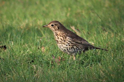 Song Thrush, New Zealand, Bird, Watching, Bird Spotting