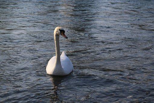 Swan, Water, Lake, Animal, Nature, Bird, Water Bird