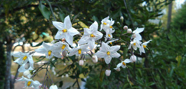 White, Lilies, Lily, Flower, Bloom, Nature, Water