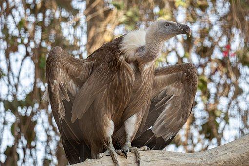 Bird, Eagle, Falcon, Head, Feathers, Wildlife, Wild