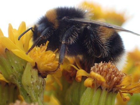 Bumble Bee, Bumblebee, Bee, Insect, Yellow, Garden